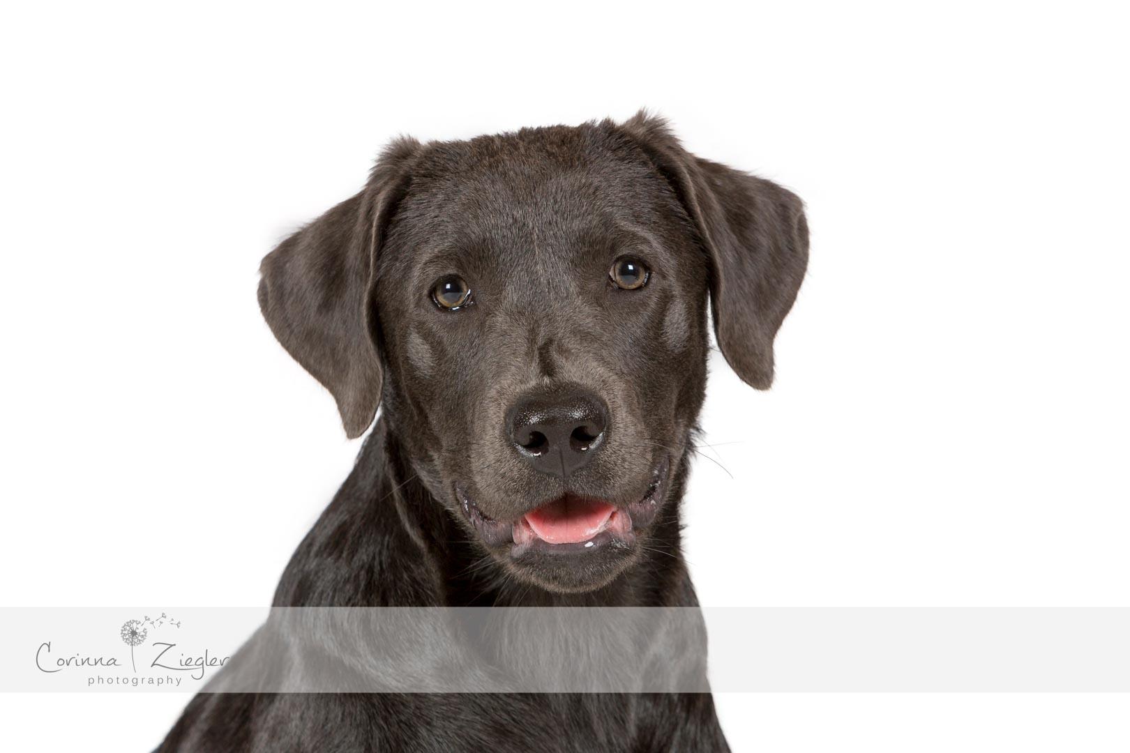 Labrador charcoal Welpe