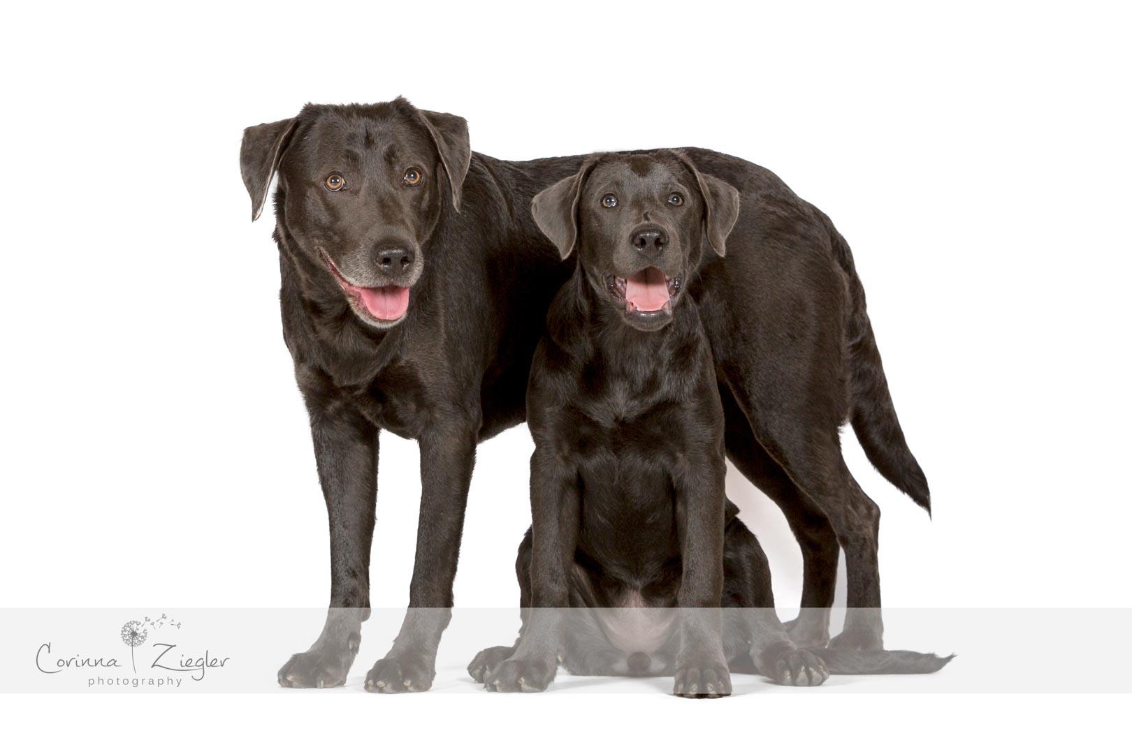 Labrador charcoal